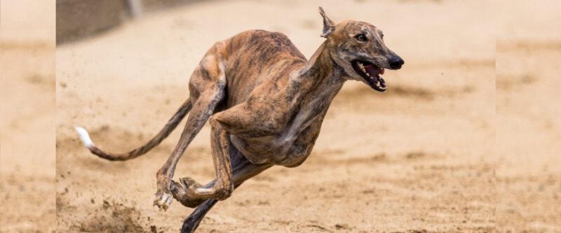 Bild eines Windhundes