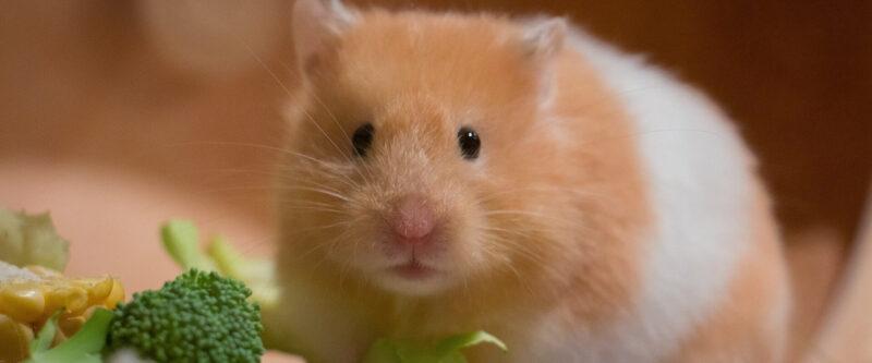 Bild eines Hamsters