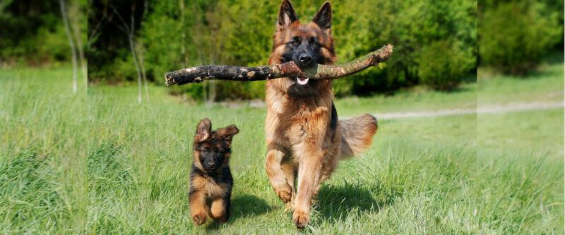 Bild zweier Schäferhunde